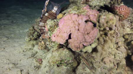 scorpionfish : Scorpionfish in corals on background underwater landscape in Red sea. Swimming in world of colorful beautiful world of reefs and algae. Inhabitants in search of food. Abyssal diving. Stock Footage