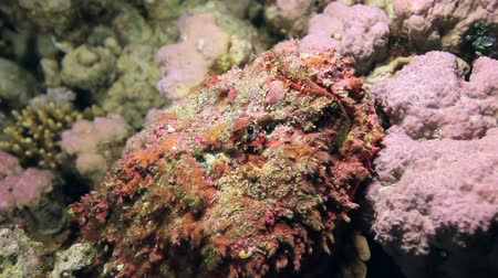 deepsea : Red corals on sandy bottom deep underwater in sea of Egypt. World of colorful beautiful wildlife of reefs, fish and algae. Inhabitants in search of food. Abyssal diving. Stock Footage