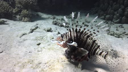 scorpionfish : Scorpionfish underwater on sandy bottom on background landscape in Red sea. Swimming in world of colorful beautiful world of coral reefs. Inhabitants in search of food. Abyssal diving. Stock Footage