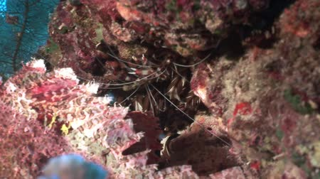 deepsea : Dangerous poisonous stone fish on background underwater landscape in Red sea. Swimming in world of colorful beautiful wildlife of coral reefs and algae. Inhabitants in search of food. Abyssal diving. Stock Footage