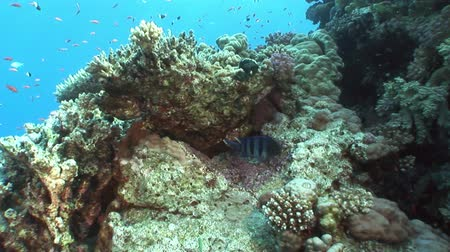 deepsea : School of fish on background bright coral in in clean clear water of Red sea. Swimming in world of colorful beautiful wildlife of reefs and algae. Inhabitants in search of food. Abyssal diving.