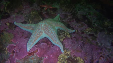 hvězdice : White with spots starfish on background seabed underwater in ocean of Alaska. Swimming in amazing world of beautiful wildlife. Inhabitants in search of food. Abyssal relax diving.