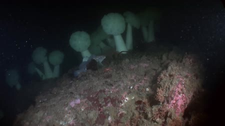 hvězdice : White actinia anemone on background seabed underwater in ocean of Alaska. Swimming in amazing world of beautiful wildlife. Inhabitants in search of food. Abyssal relax diving.