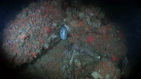 hvězdice : Lancet fish on seabed underwater in ocean of Alaska. Swimming in amazing world of beautiful wildlife. Inhabitants in search of food. Abyssal relax diving.