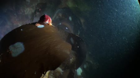 hvězdice : Sea snail on kelp underwater in ocean of Alaska. Swimming in amazing world of beautiful wildlife. Inhabitants in search of food. Abyssal relax diving.
