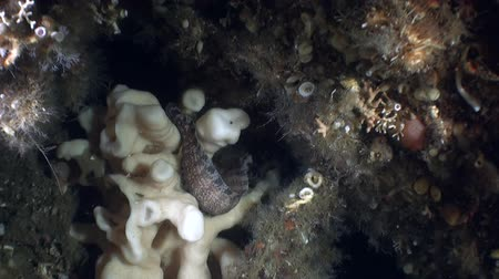 hvězdice : Sea life on the background of the landscape underwater in ocean of Alaska.Swimming in amazing world of beautiful wildlife. Inhabitants in search of food. Abyssal relax diving.