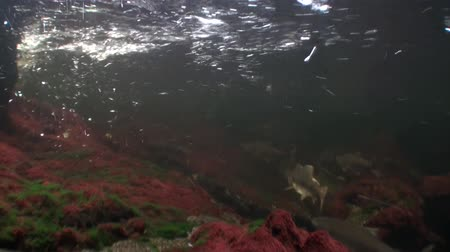 hvězdice : Flock of salmon fish swim to spawn underwater in ocean of Alaska. Swimming in amazing world of beautiful wildlife. Inhabitants in search of food. Abyssal relax diving. Dostupné videozáznamy