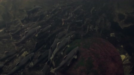 hvězdice : School of salmon fish swim to spawn underwater in ocean of Alaska. Swimming in amazing world of beautiful wildlife. Inhabitants in search of food. Abyssal relax diving.