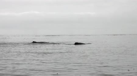 cauda : Tail of a whale diving into the water of Pacific Ocean in Alaska. Amazing landscapes. Beautiful rest and tourism in a cool climate. Unique picture of nature in America.