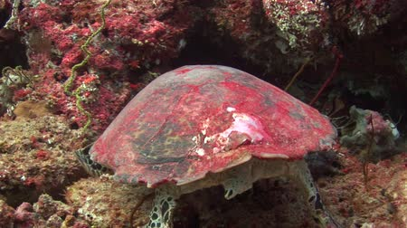 reef life : Sea tortoise turtle on background colorful corals underwater in sea of Maldives. Swimming in world of beautiful wildlife of reefs and algae. Inhabitants in search of food. Relax diving. Stock Footage