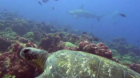 hammerhead : Green sea turtle underwater on background of hammerhead shark Galapagos Islands Swimming in world of colorful beautiful wildlife of corals reefs and algae. Inhabitants in search of food. Relax diving.