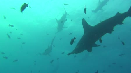 hammerhead shark : Group of great hammerhead shark on background underwater in sea of Galapagos. Swimming in world of colorful beautiful wildlife of corals reefs. Inhabitants in search of food. Abyssal relax diving.