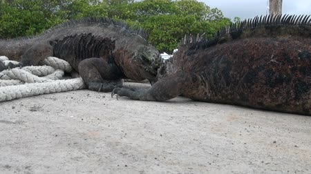 black iguana : Two Galapagos iguanas fighting on the wharf on Santa Cruz Island. Wild world animal in craters of extinct volcanoes Los Gemelos . Inhabitants on background of tropical nature of Ecuador.