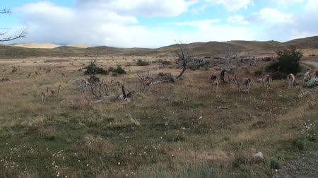 сухой : Guanaco lama exotic mammal wild animal in Andes mountains of Patagonia. Pasture of herbivores in wildlife in Tierra del Fuego.