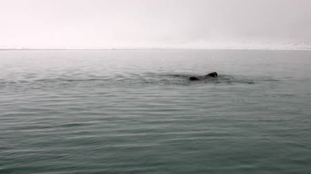 blubber : Group of walruses swim in cold blue water of Arctic Ocean in Svalbard. Wildlife. Dangerous animals in Nordic badlands. Unique footage on background natural landscape and snow mountains of Spitsbergen.