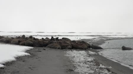 takımadalar : Group of walruses relax near water on snow shore of Arctic Ocean in Svalbard. Dangerous animals in Nordic badlands. Unique footage on background natural landscape of Spitsbergen.