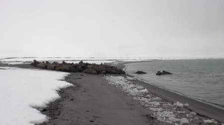 blubber : Group of walruses relax near water on snow shore of Arctic Ocean in Svalbard. Dangerous animals in Nordic badlands. Unique footage on background natural landscape of Spitsbergen.