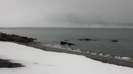 blubber : Group of walruses relax near water on snow shore of Arctic Ocean in Svalbard. Wildlife. Dangerous animals in Nordic badlands. Unique footage on background natural landscape of Spitsbergen.