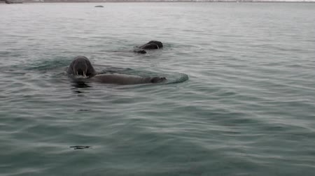 blubber : Group of walruses dive in water of Arctic Ocean in Svalbard. Wildlife. Dangerous animals in Nordic badlands. Unique footage on background natural landscape and snow mountains of Spitsbergen. Stock Footage