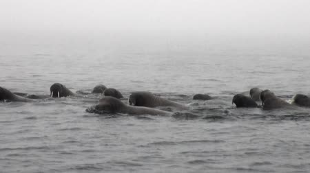 blubber : Group of walruses are floating in water in fog of Arctic Ocean in Svalbard. Wildlife. Dangerous animals in Nordic badlands. Unique footage on background natural landscape of Spitsbergen. Stock Footage
