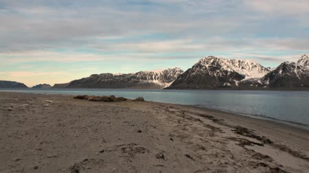 blubber : Group of walruses relax on sunset background of Arctic Ocean in Svalbard. Wildlife. Dangerous animals in Nordic badlands. Unique footage of natural landscape and snow mountains of Spitsbergen.