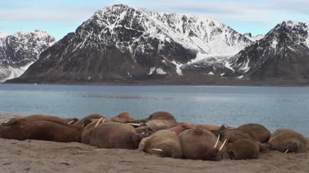 blubber : Group of walruses relax near water on shore of Arctic Ocean in Svalbard. Wildlife. Dangerous animals in Nordic badlands. Unique footage on background landscape and snow mountains of Spitsbergen.