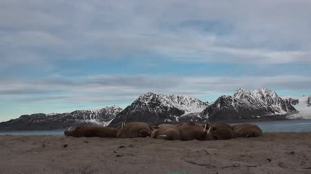takımadalar : Group of walruses relax on shore of Arctic Ocean in Svalbard. Wildlife. Dangerous animals in Nordic badlands. Unique footage on background natural landscape and snow mountains of Spitsbergen.
