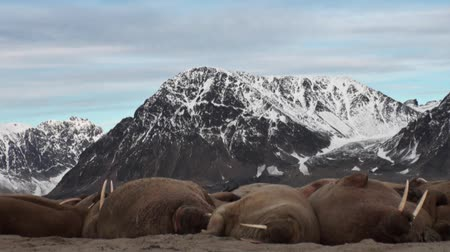 blubber : Group of walruses relax on shore of Arctic Ocean in Svalbard. Wildlife. Dangerous animals in Nordic badlands. Unique footage on background natural landscape and snow mountains of Spitsbergen.