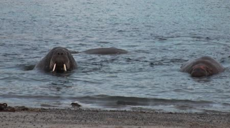 blubber : Group of walruses relax in water near shore of Arctic Ocean in Svalbard. Wildlife. Animals in Nordic badlands. Unique footage on background natural landscape and snow mountains of Spitsbergen. Stock Footage