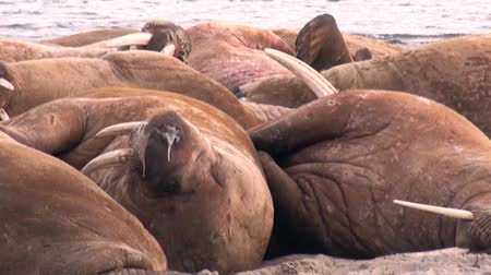blubber : Group of walruses relax on shore of Arctic Ocean in Svalbard. Wildlife. Dangerous animals in Nordic badlands. Unique footage on background natural landscape of Spitsbergen.