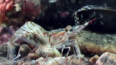 disguised : Glass shrimp masked in search of food underwater seabed of White Sea Russia. Unique video close up. Predators of marine life on the background of pure and transparent water stones.