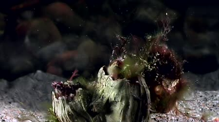žalud : Balanus balanomorpha sea acorn marine crustaceans underwater on seabed. Unique dramaturgy pic macro video close up. Predators of marine immovable lifestyle on background of pure clear clean water.