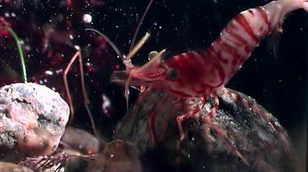 disguised : Red shrimp masked in search of food underwater seabed of White Sea Russia. Unique video close up. Predators of marine life on the background of pure and transparent water stones.