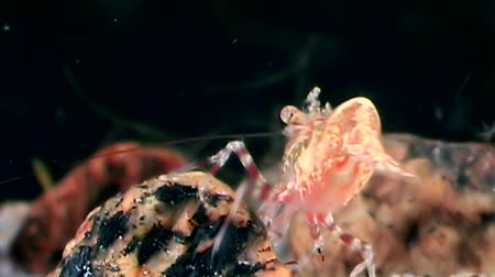 disguised : Glass red shrimp masked in search of food underwater seabed of White Sea. Unique video close up. Predators of marine life on the background of pure and transparent water stones. Stock Footage