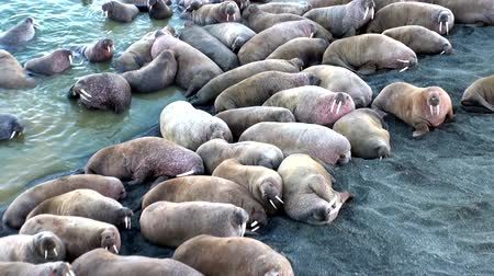 polar circle : Group of walruses rest on shores of Arctic Ocean on New Earth in Russia. Unique landscape of wildlife in background of desert. Ecotourism in wilderness. Wild nature. Pinniped mammals tusk in water. Stock Footage