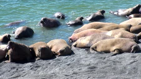 blubber : Group of walruses rest on shores of Arctic Ocean on New Earth in Russia. Unique landscape of wildlife in background of desert. Ecotourism in wilderness. Wild nature. Pinniped mammals tusk in water. Stock Footage