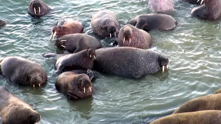 blubber : Group of walruses rest in water of Arctic Ocean on New Earth in Russia. Unique landscape of wildlife in background of desert. Ecotourism in wilderness. Wild nature. Pinniped mammals animals.