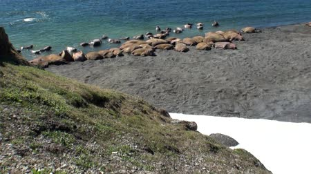 blubber : Group of walruses rest on shores of Arctic Ocean on New Earth in Russia.Unique landscape of wildlife in background of desert. Ecotourism in wilderness. Wild nature. Pinniped mammals tusk in water.