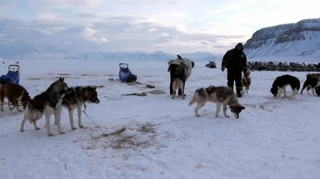 ártico : Spitsbergen, Norway-21 April 2011: People expedition on dog sled team husky Eskimo road of North Pole in Arctic. Way from airport Longyear to Pyramiden on background of glacier mountains Svalbard. Stock Footage