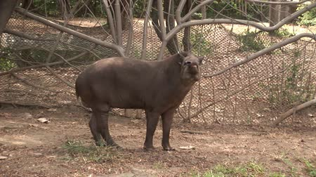 копытный : Galapagos, Ecuador - 28 May 2016: Tapir Tapirus in national park zoo. Herbivorous animal. Cute creature.