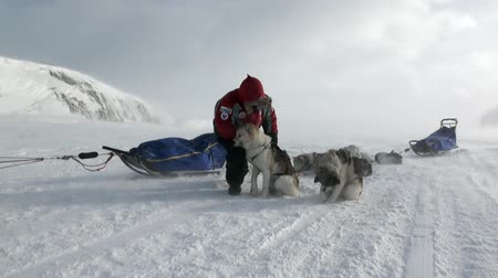 eskimo : Spitsbergen, Norway-21 April 2011: People expedition on dog sled team husky Eskimo road of North Pole in Arctic. Way from airport Longyear to Pyramiden on background of glacier mountains Svalbard. Stock Footage