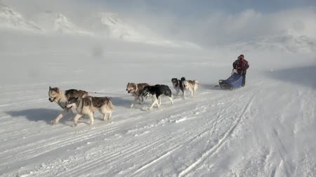 szánkó : Spitsbergen, Norway-21 April 2011: People expedition on dog sled team husky Eskimo road of North Pole in Arctic. Way from airport Longyear to Pyramiden on background of glacier mountains Svalbard. Stock mozgókép