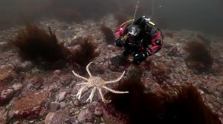 csibész : Russia, Barents Sea- 23 May 2017: Diver playing with king crabs underwater on seabed of Kamchatka. Nature in clean transparent cold water. Wildlife on background of blue marine in Arctic ocean.