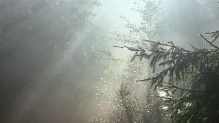 morning : forest in fog