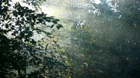 enevoado : forest in fog
