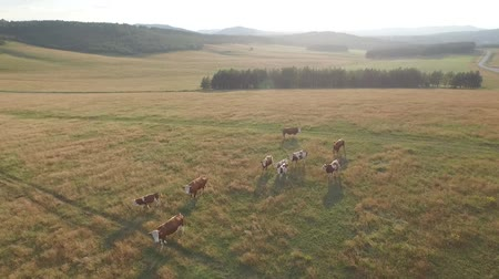 otlama : cattle graze on the open meadows. Herd of cows, bulls, calf and oxen on pasture on the hill with beautiful nature in the background