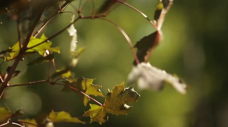propagação : Sunlight breaks through the green leaves of maple