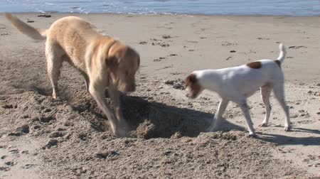 hunting dog : Two Dogs Digging A Hole.