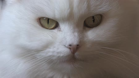 captivity : A White Persian Cat.