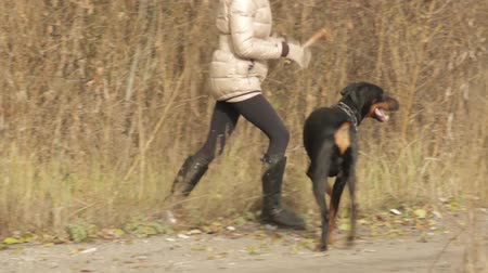 hunting dog : doberman dog hutning Full HD Stock Footage